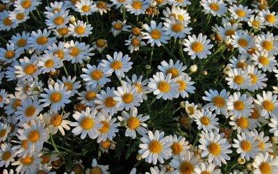 white-flowers-3544743_640